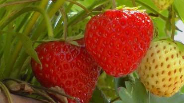 erdbeere-reif
