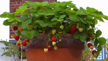 erdbeere-topf