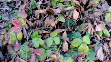 erdbeere-wintergruen
