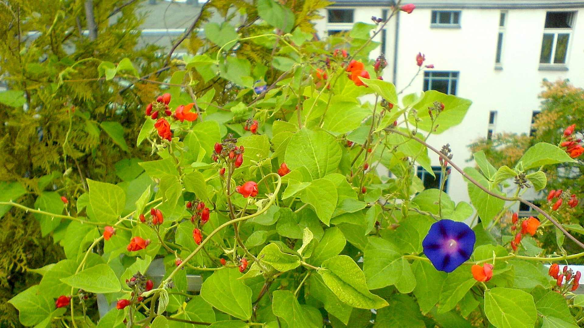 balkongarten - gemüse selbst anbauen - gartennatur