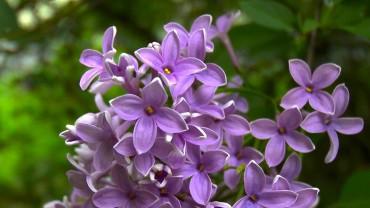 flieder-bluete-nah-violett