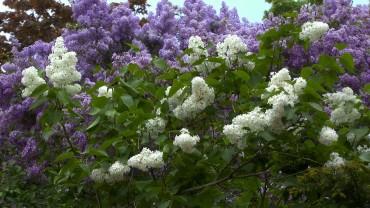 flieder-bluete-weiss-violett