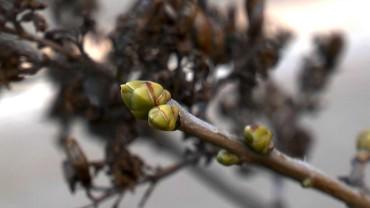 flieder-winterhart-knospe