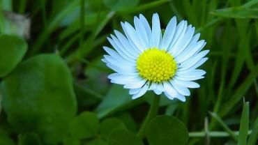 gaensebluemchen-bluete