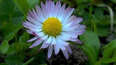 gaensebluemchen-bluete-roetlich