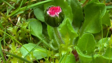 gaensebluemchen-knospe