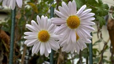 garten-chrysantheme-einfach