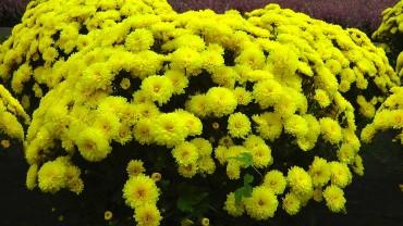gartenchrysantheme-gefuellt-gelb-topf