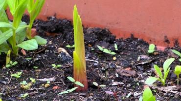 gladiole-austrieb-triebspitze