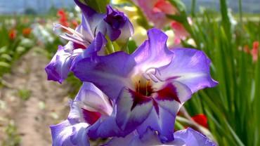 gladiole-bluete-blau-rot
