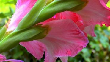 gladiole-bluete-rosa