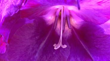 gladiole-bluete-stempel