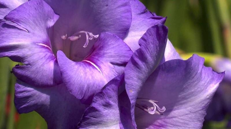 gladiole-bluete-violett