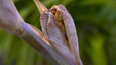 gladiole-frucht-samen