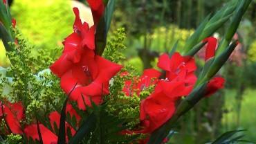 gladiole-strauss