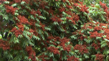 goetterbaum-fruchtbildung-rot