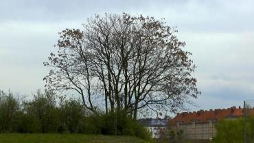 goetterbaum-winter-kahl