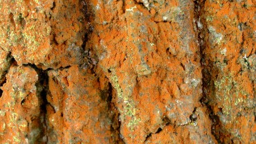 gruenalge-trentepohlia-aurea-nah
