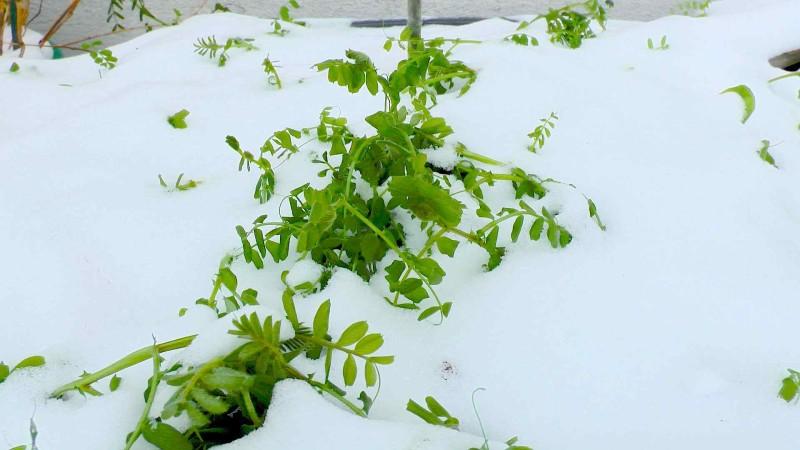 gruenduengung-frostschutz