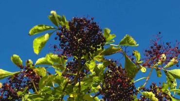 holunder-frucht