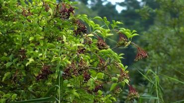 holunder-fruchtbildung