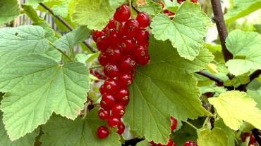 johannisbeere-rot-frucht-ribes