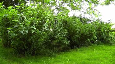 johannisbeere-schwarz-anbau