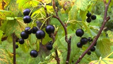 johannisbeere-schwarz-frucht