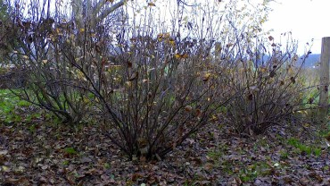 johannisbeere-schwarz-winter
