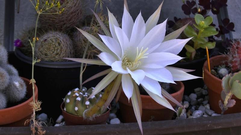 kaktus bluete
