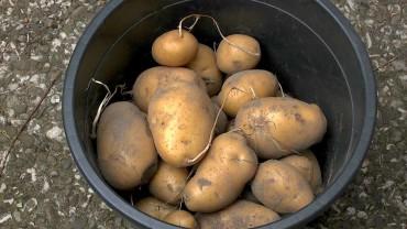 kartoffel-ernte