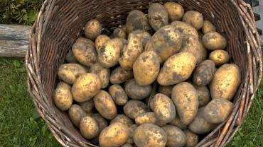 kartoffel-ernte-frisch