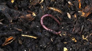kompost-regenwurm