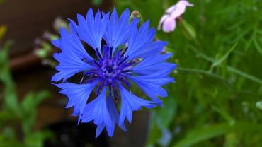 kornblume-bluete-einfach