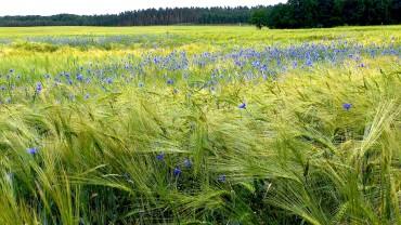 kornblume-bluete-kornfeld