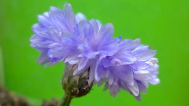 kornblume-bluete-seitlich