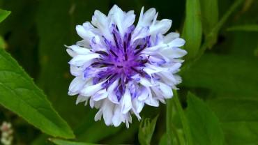 kornblume-bluete-zweifarbig-gefuellt