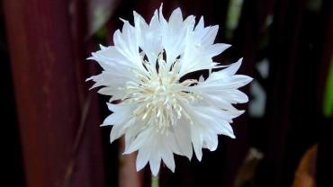 kornblume-weiss-gefuellt
