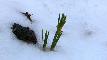 krokus-austrieb-winterhart