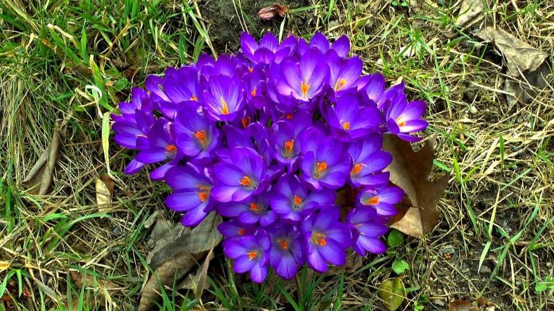 krokus-blueten-violett