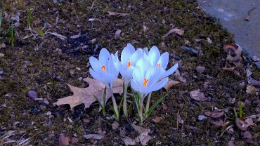 krokus-blueten-zartblau