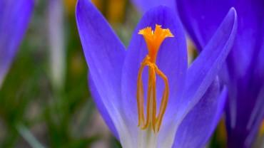 krokus-bluetenstempel