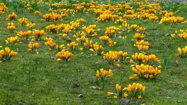 krokus-horst-gelb