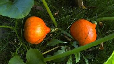 Hokaidofrucht