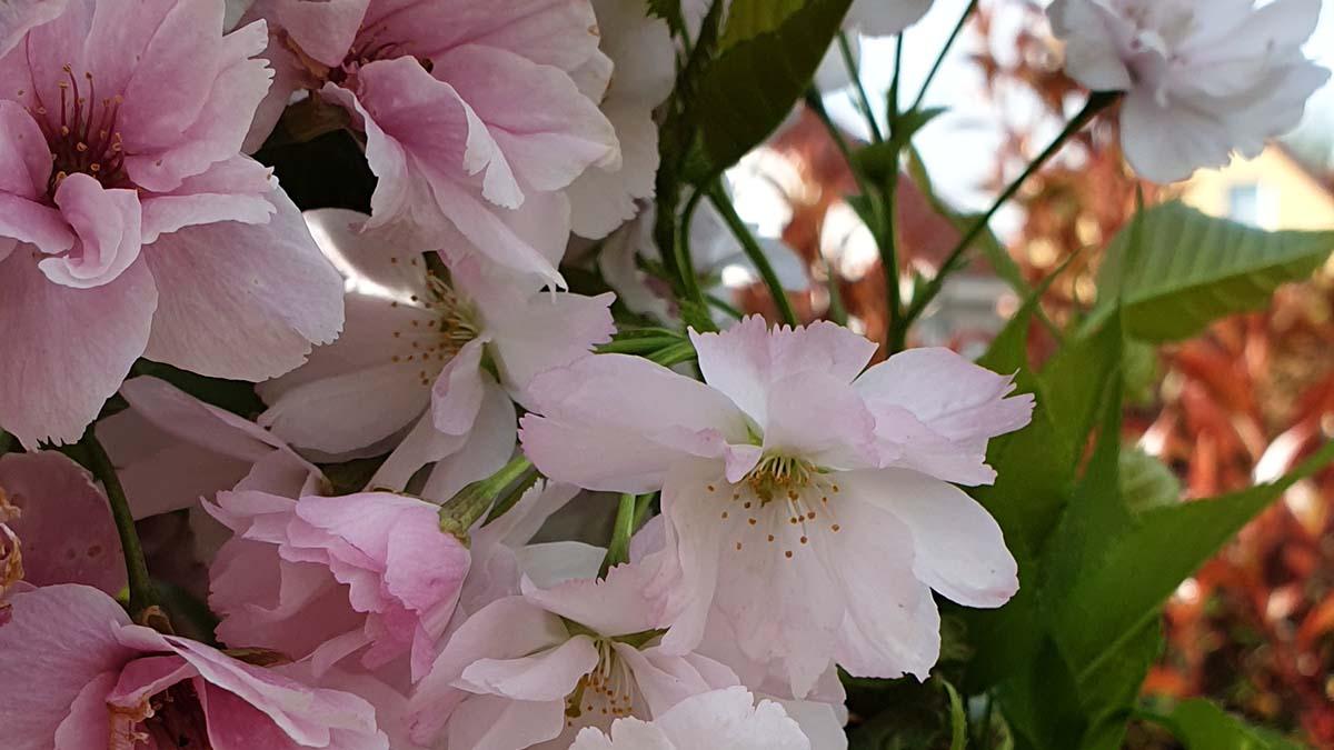 Foto von Blüten der Steppenkirsche