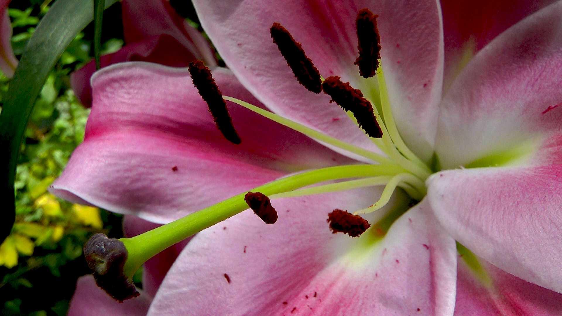lilie video pflegehinweise g rtnertipps und weitere informationen zu lilien auf garten natur. Black Bedroom Furniture Sets. Home Design Ideas