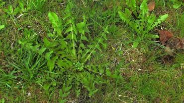 loewenzahn-blatt-rosette