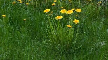 loewenzahn-pflanze