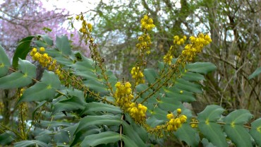 mahonia-japonica-bluete