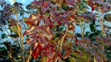 mahonie-blatt-winter